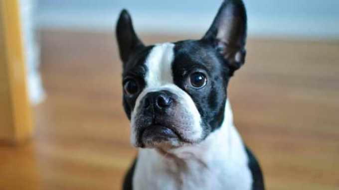 Boston Terrier Things