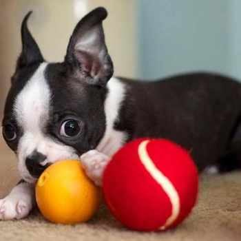 Boston Terrier Toys