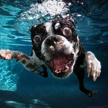 Boston Terrier Underwater