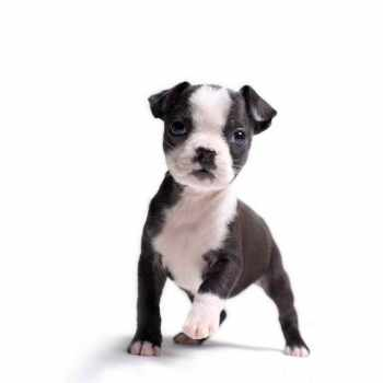 Boston Terrier Washington State