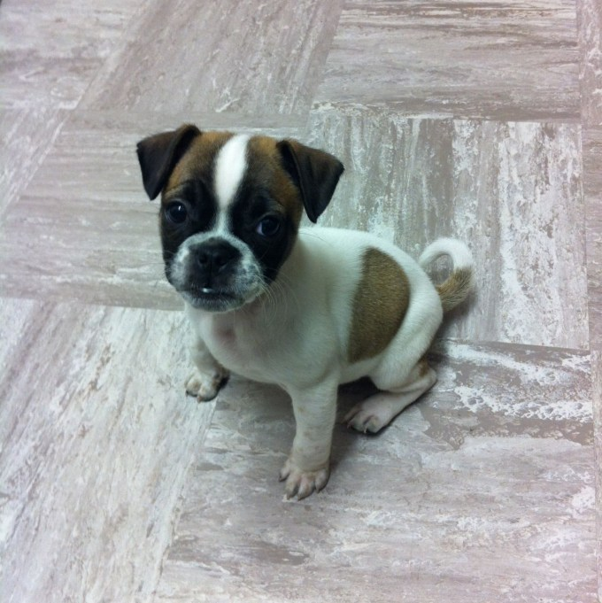 Boxer Pug Mix Puppies For Sale