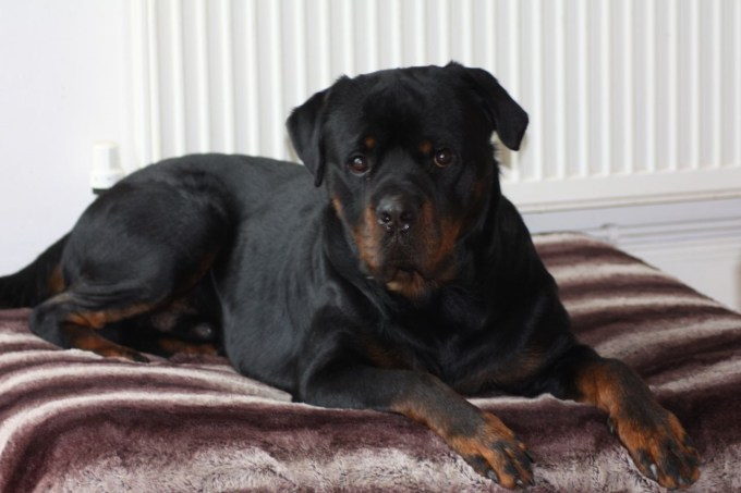 Boy Rottweiler Puppies For Sale