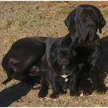 Brazilian Mastiff Puppies For Sale