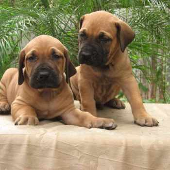 Brazilian Mastiff Puppies