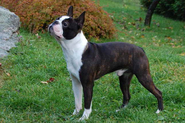 Brindle Boston Terrier Puppies For Sale