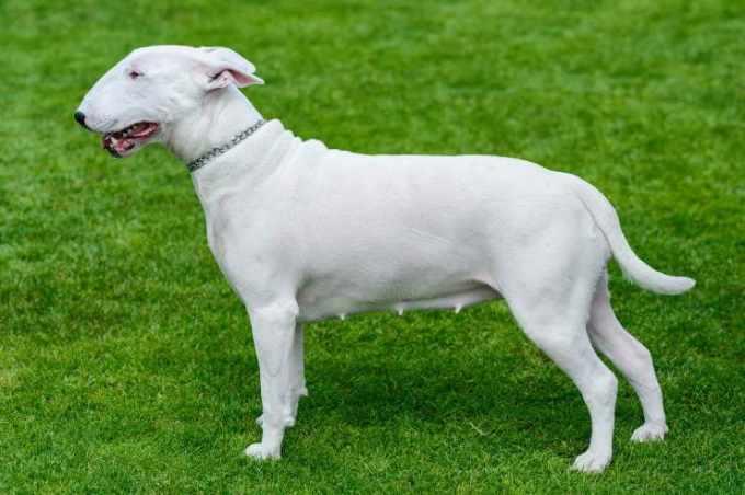 British Bull Terrier