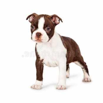 Brown Boston Terrier Puppies