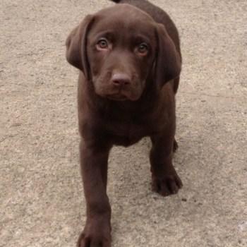 Brown Chocolate Labrador Puppies Sale