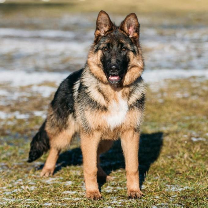 Brown German Shepherd Puppy