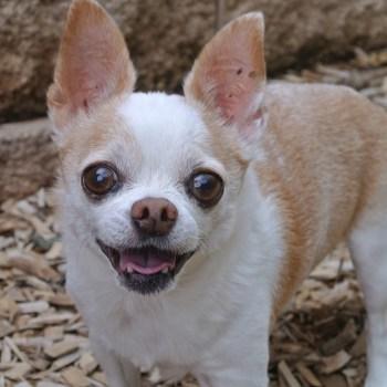 Bug Eyed Chihuahua