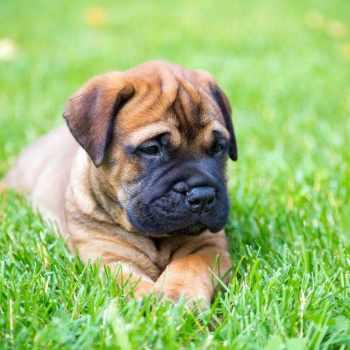 Bull Mastiff Puppies For Sale In Nh
