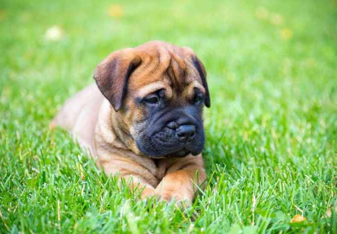 Bull Mastiff Puppies For Sale In Nh