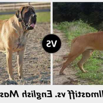 Bull Mastiff Vs English Mastiff