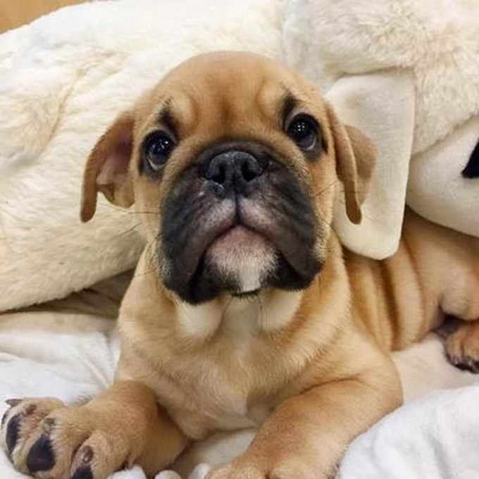 Bull Pug