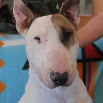 Bull Terrier Adopt