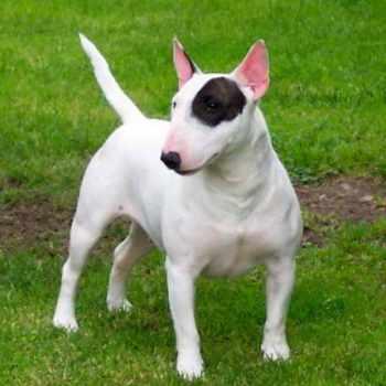 Bull Terrier Breeder
