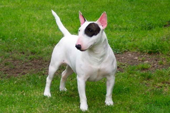Bull Terrier Breeders Az