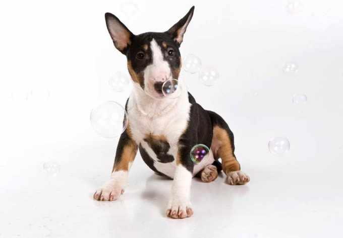 Bull Terrier Breeders In Va