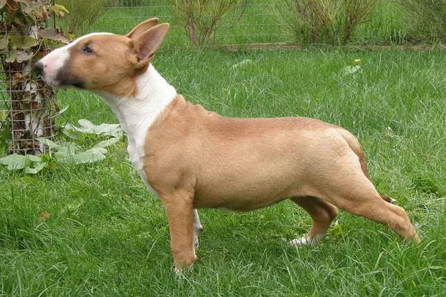 Bull Terrier Breeders Nj