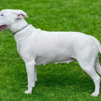 Bull Terrier Breeding