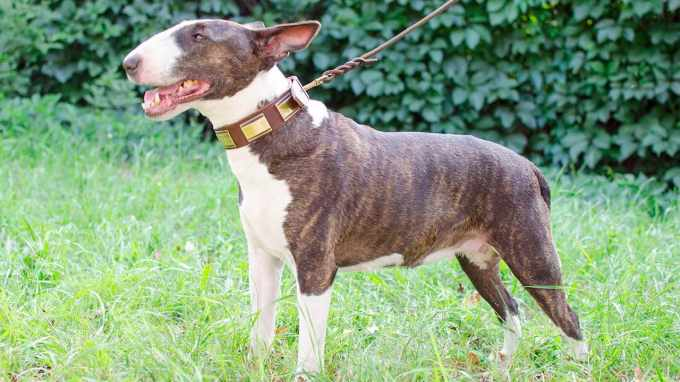 Bull Terrier Collar
