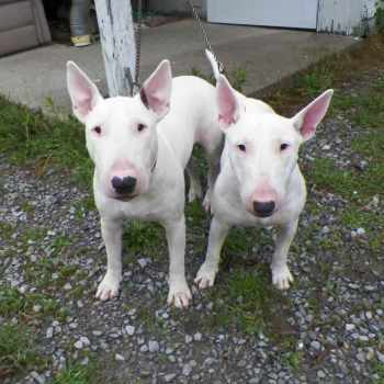 Bull Terrier For Sale In Colorado