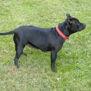 Bull Terrier For Sale In Indiana