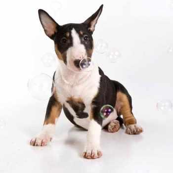 Bull Terrier For Sale Oregon