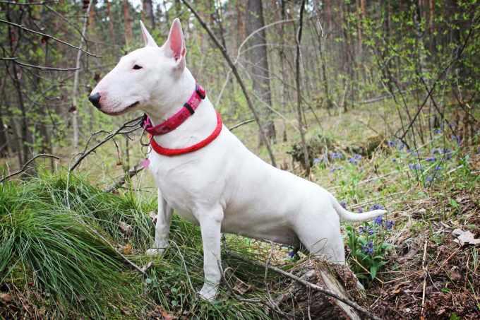Bull Terrier Guard Dog