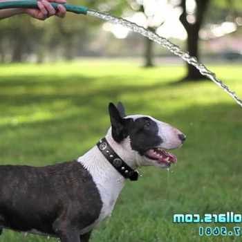 Bull Terrier Miami