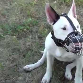 Bull Terrier Muzzle