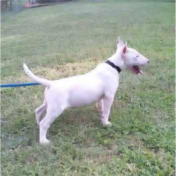 Bull Terrier Puppies Alabama