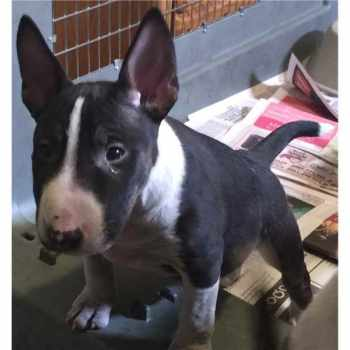 Bull Terrier Puppies For Sale Chicago