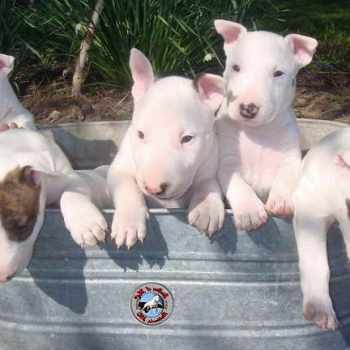 Bull Terrier Puppies For Sale In Nc
