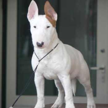 Bull Terrier Puppies In Florida