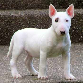 Bull Terrier Puppies Nj