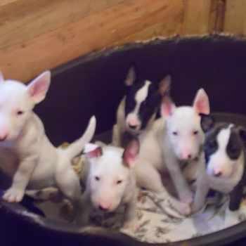 Bull Terrier Puppies Oregon