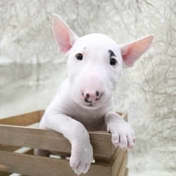 Bull Terrier Puppies Texas