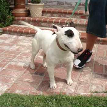 Bull Terrier Rescue Ca