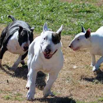 Bull Terrier Rescue Oklahoma