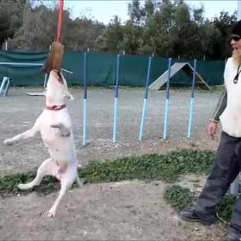 Bull Terrier Training