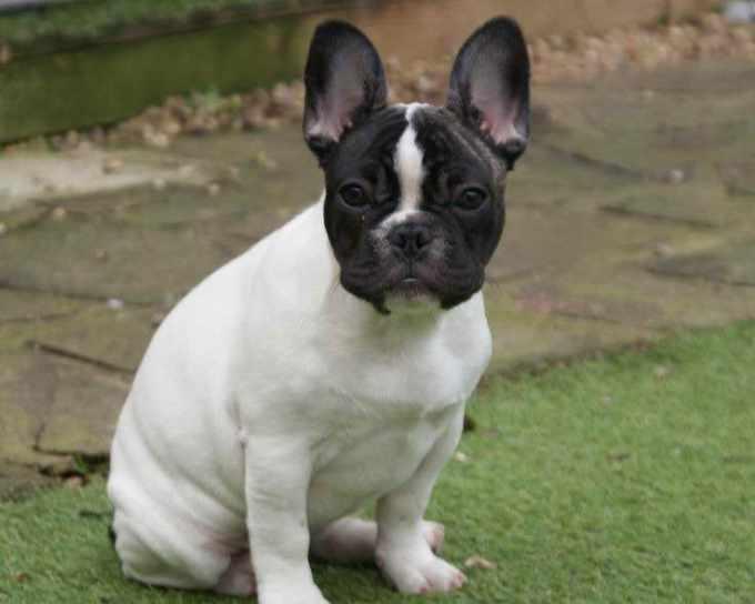 Bulldog Boston Terrier Puppies