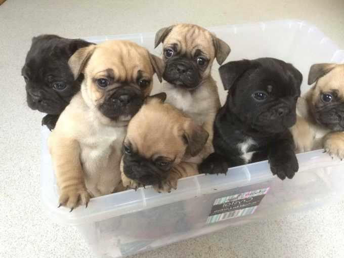 Bulldog Pug Puppies