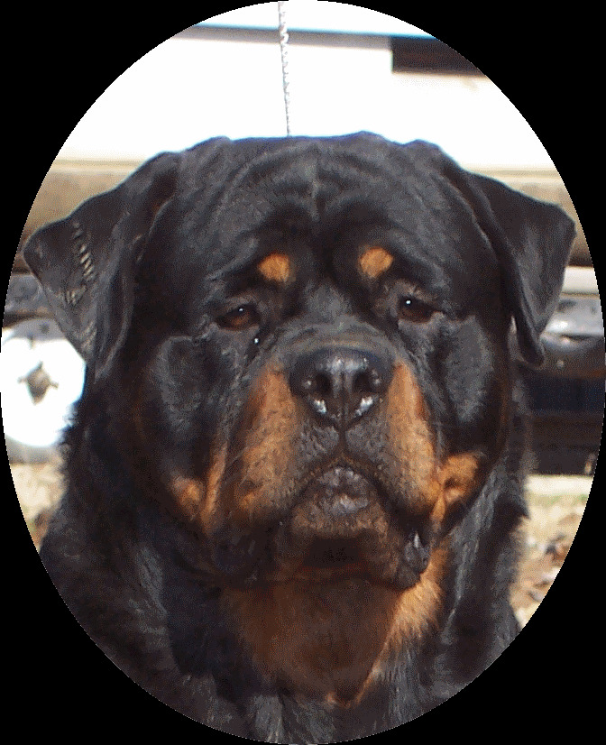 Bullmastiff Rottweiler Mix Puppies For Sale