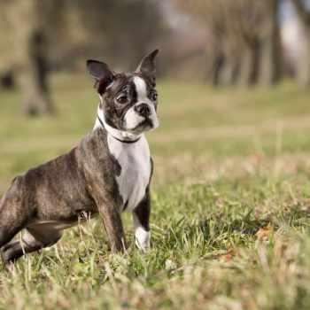 Buy A Boston Terrier