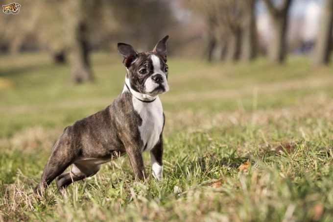 Buy A Boston Terrier