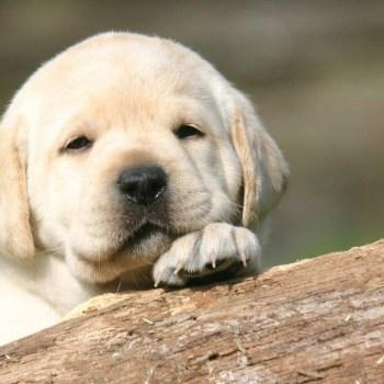 Buy A Labrador Retriever