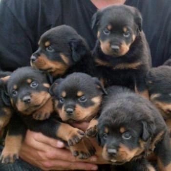 Buy A Rottweiler
