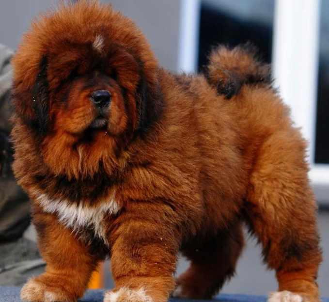 Buy A Tibetan Mastiff