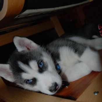 Buy Baby Husky